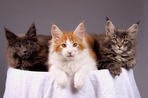 Maine coons kittens: They are 12 weeks old