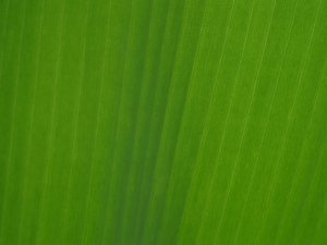 Texture: Banana leaf: No description