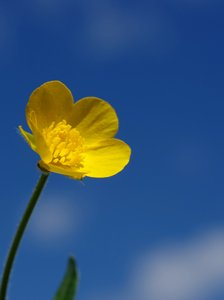 Buttercup in front of sky: Single Buttercup in front of a blurry sky.