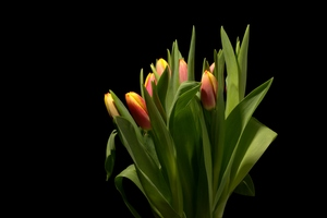 Tulips with many colours: Tulips in different colours and black background