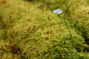 Forget-me-not - Myosotis: Small forget-me-not in a green layer of moss