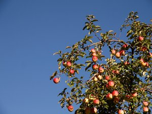 Apples and blue sky: Appels on the tree with blue sky as background