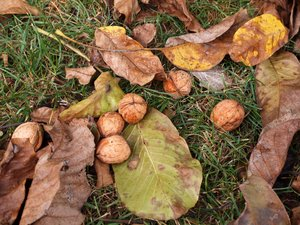walnuts on the ground: Walnuts laying on the ground with leafs around