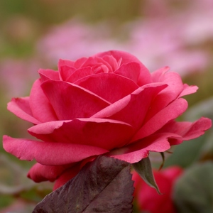 "Rose ""Sentimental"":"