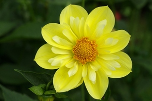 Dahlia: A member of the flower famely Dahlia.