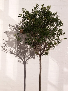 Olivetree: Olivetree with shadow on white plaster wall