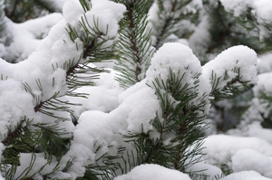 Pine with snow: Branches and neddles of a pine with snow