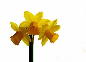 Isolated daffodil: Isolated daffodil