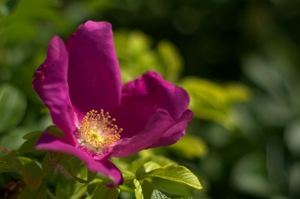 French Rose: Ordinary french rose - purple.