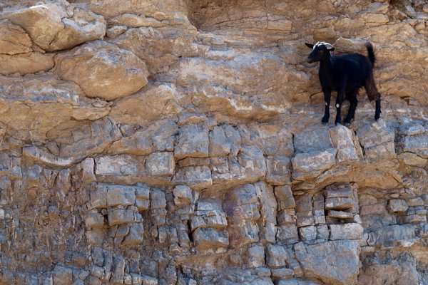 Mountain Goat: Highland goats in (Greek) mountains standing on narrow shelves.