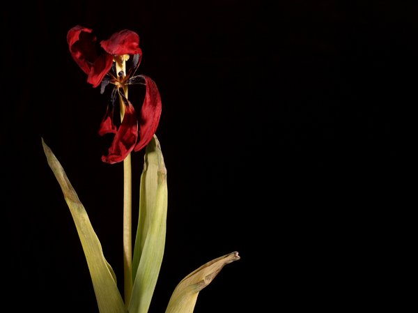 Withered tulip: Withered tulip with black background