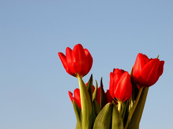 Bouquet of tulips with blue sk: A bouquet of red tulips with blue sky background.