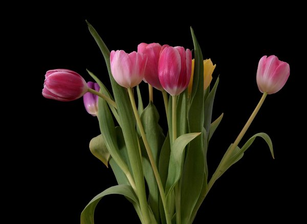 Tulips: Tulips isolated with dark background