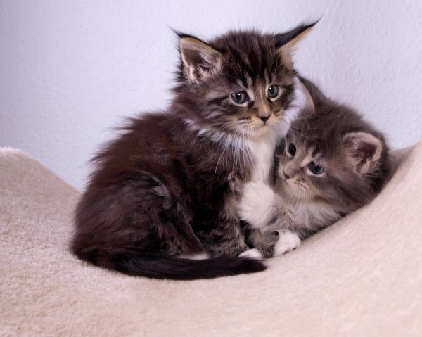 Maine coons kittens: six weeks old