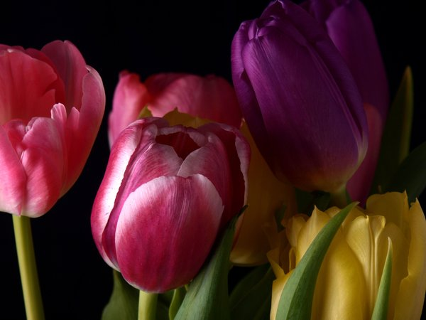 Bouquet of tulips: A bouquet of tulips isolated with black background