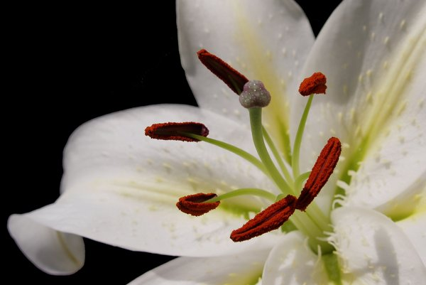 Lily close up 3: Close up at the white lily