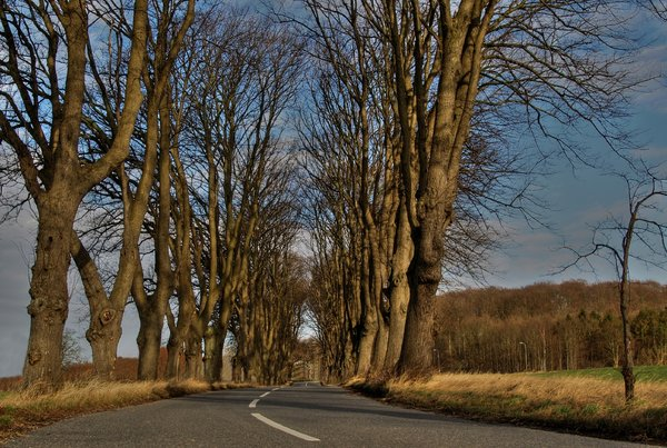Avenue- HDR: Avenue with Elm trees