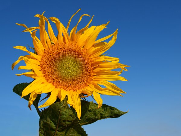 Sunflower: The symbol of summer