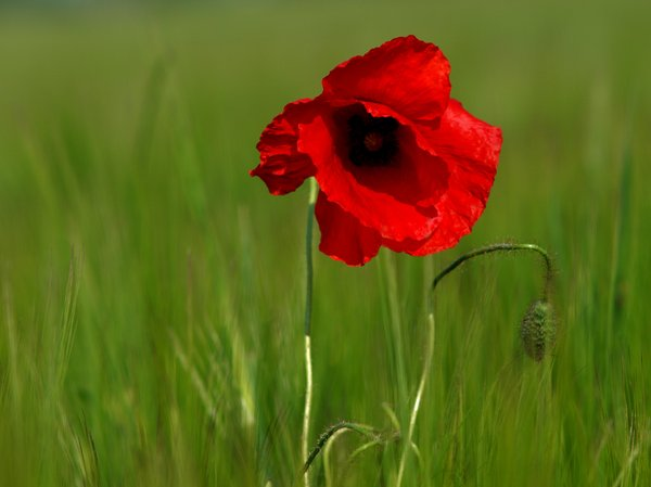 Red Poppy in a wheat field: A single red poppy in a wheat field