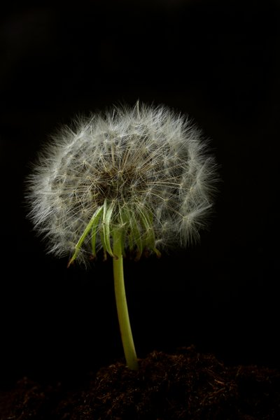 Dandalion with seeds: Dandelion in dirt with seeds isolated with black background.