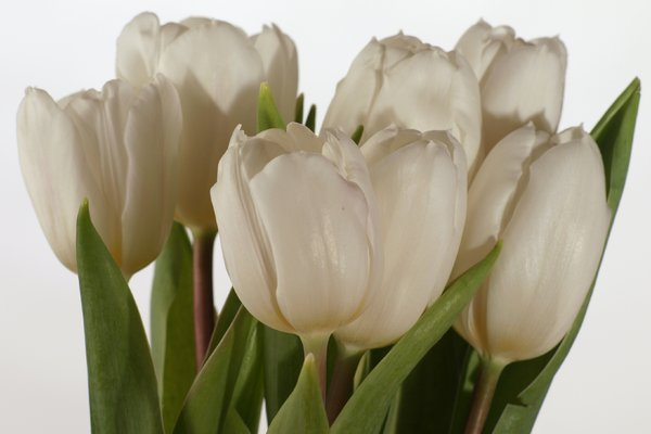 White tulips: Bunch of white tulips with white background.