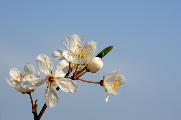 Cherry plum blossom: Cherry plum flowers on branch
