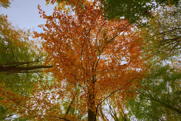 Autumn above - HDR: looking up at trees  in autumn colors. The image is HDR.