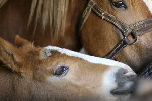 foal with mother: foal with mother portrait