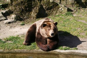 relaxed: a bear relaxing in the sun