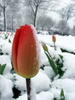 Tulip in Snow: Springtime tulip covered in April snow
