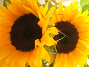 Sunflowers: 2 x sunflowers in bloom