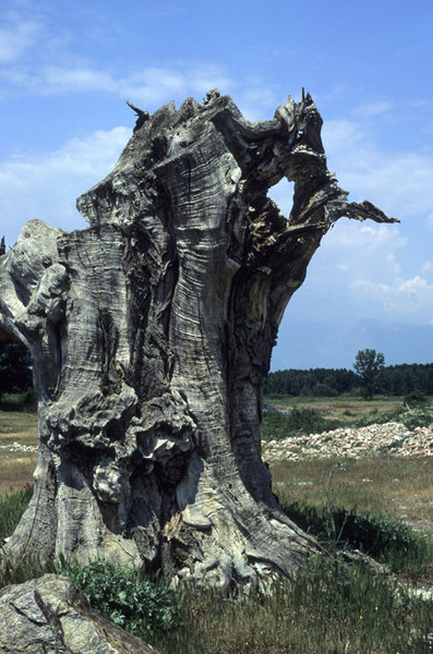 Trunk tree: A strange tree at the open country near Thessaloniki