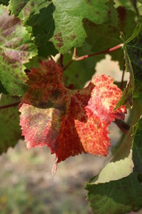 Grape leaf: Grape leaf