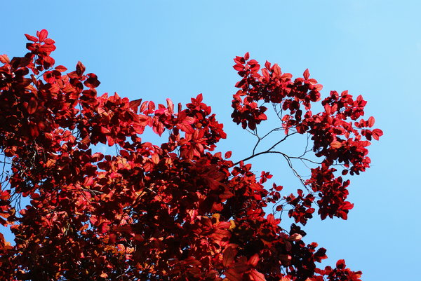 Red leaves: Red leaves
