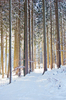 Tall Spruce Trees in snowy For: Morning Sun shining between Tall Spruce Trees in snowy Forest
