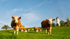 Cows on Meadow: Cows on green Grassland