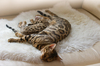 Bengal Cat and Kitten sleeping: Bengal Cat and Kitten sleeping on Sofa