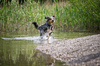 Dog playing on Beach: Australian Shepherd playing in the Beach, running out of the Water