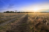 Dirt Road in Fields: Dirt Road through Ripe Barley Field in the Light of setting Sun