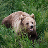 Angry Brown Bear in Grass: Angry Brown Bear in Meadow - high Grass