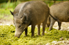 Wild Boar: Group of Wild Boar