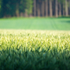 Green Wheat Field: Green Wheat Field, Forest in Background, shallow DOF