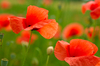 Poppies in Field: Poppies in Field, shallow DOF