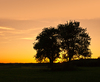 Trees at Sunset: Two old Trees in Field at Sunset