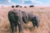 Elephant Family: Elephant Family in Masai Mara, Kenya, Africa. Old Photo from 1995.