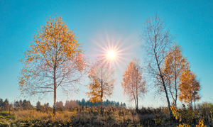 Birch Trees in Autumn Sunlight: Group of Birch Trees in Autumn Sunlight