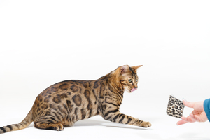 Bengal Cat playing with small : Bengal Cat playing with very small Cuddle Pillow on white Background
