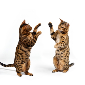 Bengal Cats fighting: Bengal Cats fighting - boxing, on white Background. XXXL Picture.