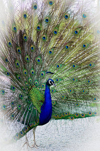 peacock: peacock in a wildlife park near Munich, Germany