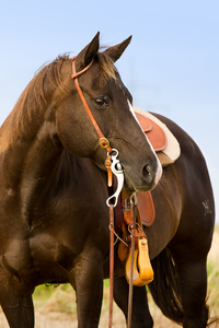 Quarter Horse: Brown Quarter Horse Mare